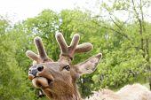 pic of deer head  - Close - JPG