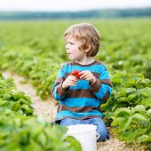 picture of strawberry blonde  - Funny little kid boy picking and eating strawberries on organic bio berry farm in summer on warm sunny day - JPG