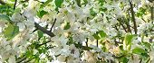 image of apple orchard  - Apple Tree Orchard With Blooming White Flowers Close - JPG