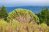 picture of fynbos  - A Pincushion protea shrub showing the intricate maze of branches - JPG