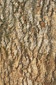 pic of ashes  - Bark wood texture or background old ash - JPG