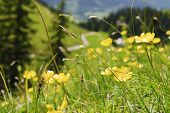 picture of buttercup  - Buttercup flowers on the mountain Breitenstein in the Alps in Bavaria Germany  - JPG