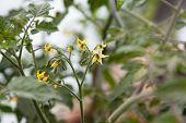 image of tomato plant  - cherry tomato blossom sprouts - JPG