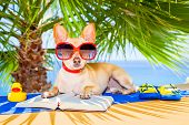 pic of palm-reading  - chihuahua dog reading a book and relaxing under the palm at the beach enjoying the summer vacation holidays - JPG