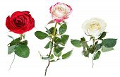 pic of single white rose  - set from three pink red white rose flowers isolated on white background - JPG