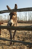 stock photo of donkey  - Donkey very interested in life on the other side of fence - JPG