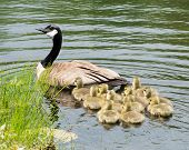 pic of canada goose  - Three Canada goose goslings sitting in the water - JPG