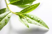 ������, ������: Tea tree Thea sinensis The leaves have been used in alternative medicine and other medical system