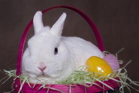 pic of dwarf rabbit  - A white Netherlands Dwarf rabbit sits in an Easter Basket with some Easter Eggs - JPG