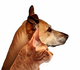 stock photo of coon dog  - Dog and cat together in a side profile looking in the distance on a white background as a canine and feline friendship couple as a veterinarian and veterinary pet care - JPG