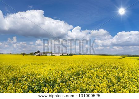 Large, yellow blooming rapeseed field with a farm in front of a blue sky with cloudscape and sun