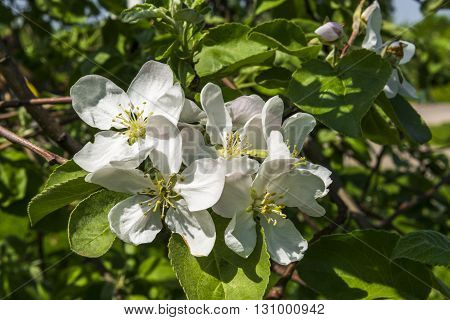 The Apple trees are blooming in a Moscow Park Kolomenskoe. Russia.