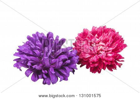 nature flower aster isolated on white background