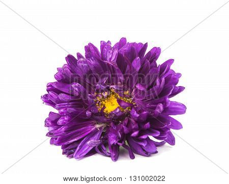 flower purple aster isolated on white background