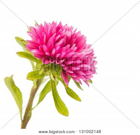 floral pink aster isolated on white background