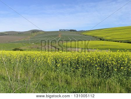 Canola Fields Durbanville Cape Town South Africa 07