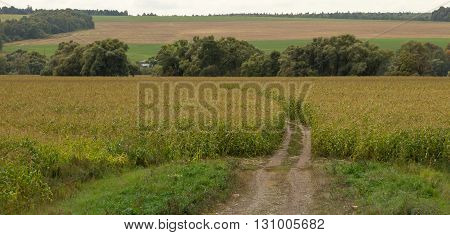 picturesque summer landscape. Road through a cornfield