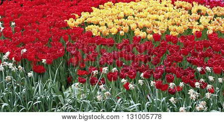 Many beautiful yellow and red tulips in flower garden in spring