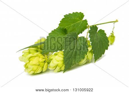 nature, plants, hop isolated on white background