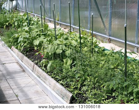 Young plants tomato and radishes seedlings in a greenhouse of transparent polycarbonate