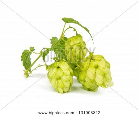 , nature, plants hop isolated on white background