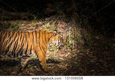 Royal Bengal Tiger (T-24 Ustaad) at Ranthambore Tiger Reserve