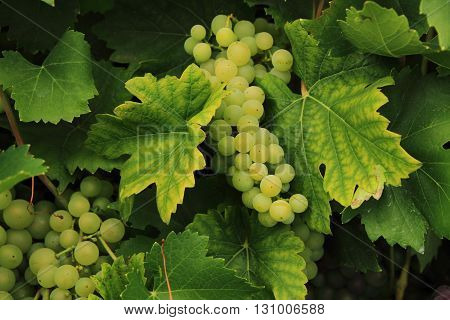 White Grapes From The Farm