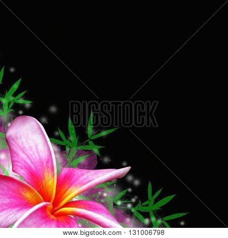 plumeria tropical flower on black background with bamboo leaves