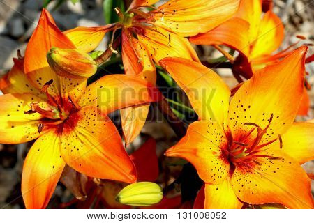 A daylily is a flowering plant in the genus Hemerocallis. Gardening enthusiasts and professional horticulturalists have long bred daylily species for their attractive flowers.