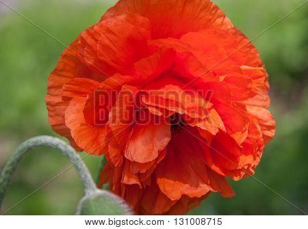 Beautiful Single Red Poppy Papaver rhoeas Flower Head in a Green Field. Papaver rhoeas.