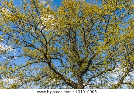 Spring blossom oak grove in the Central part of the Moscow Park Kolomenskoe on the banks of old ravine. Russia.