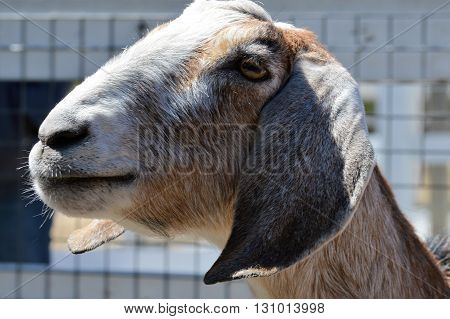 A goat at the farm waiting to be fed