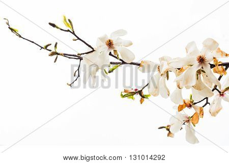 Magnolia Stellata Flower Isolated On White