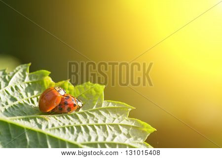 pair of beetles copulate Ladybugs on a green leaf in the golden rays of the setting sun. the concept of sex love relationships
