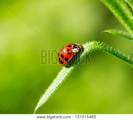 ladybug beetle on a blade of grass on a green background