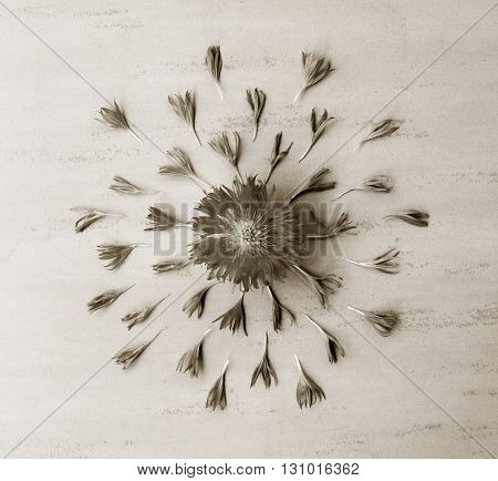 flower cornflower petals with decomposition. black and white photo. Flat lay top view