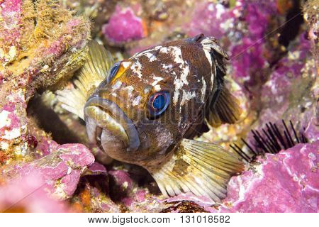 A California copper rockfish uses its fins to wedge itself onto a reef while resting at dusk