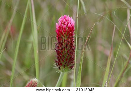 Flowers of the crimson clover Trifolium incarnatum
