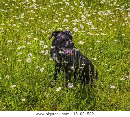 Black cane corso sitting in camomile meadow