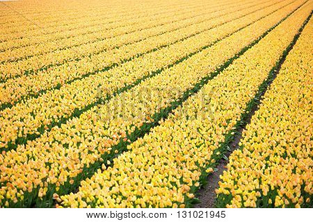 Rows Of Yellow Tulips In Dutch