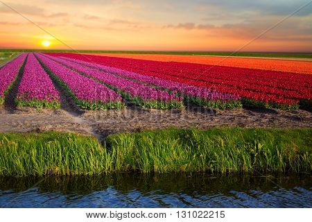 Pink, Red And Orange Tulip Field In North Holland
