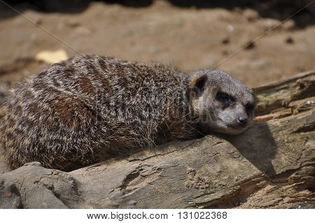 meerkats fell asleep at the post on an old log