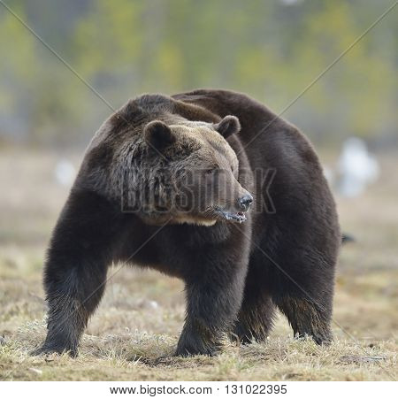 Adult Male Of Brown Bear (ursus Arctos) On The Bog In Spring Forest.