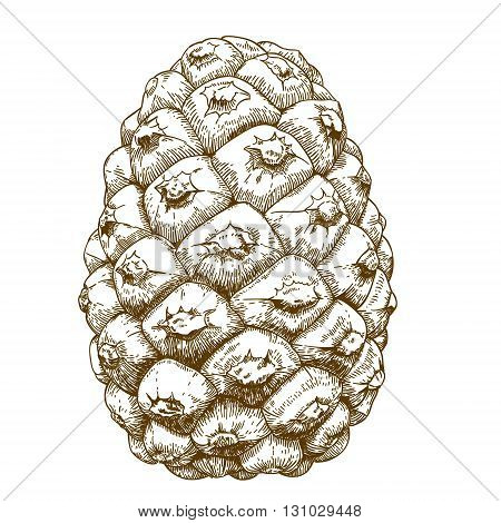 Vector antique engraving illustration of cedar cones isolated on white background