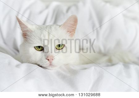 Pure White Cat Laying
