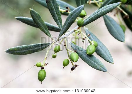 Branch of small olive growing, Andalusia, Spain