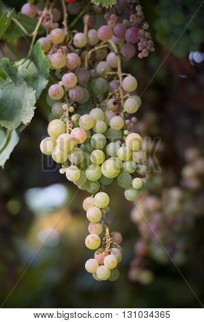 Bunches of vine grapes at a vineyard