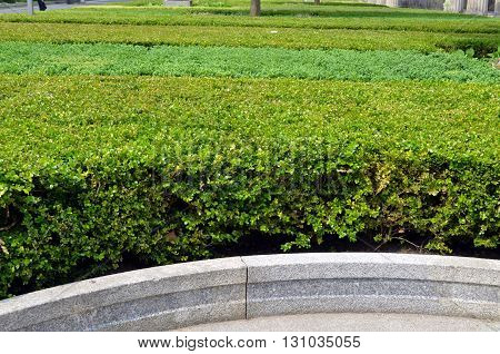 bushes of boxwood in a garden in berlin
