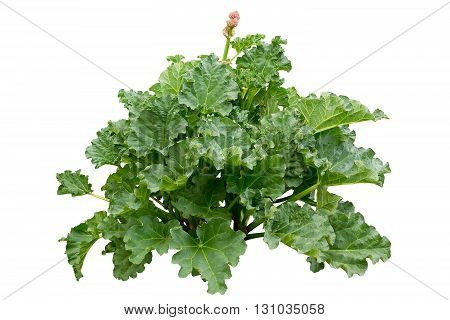 Rhubarb (Rheum rhabarbarum L.) plant growing in the garden isolated on white