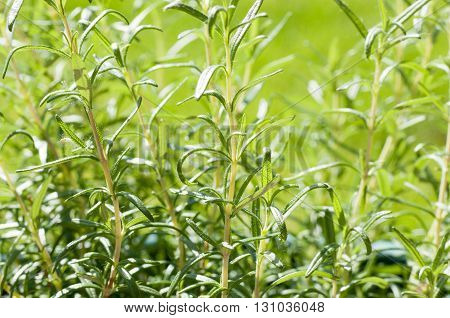 rosemary herbs growing outside on a sunny day in a garden